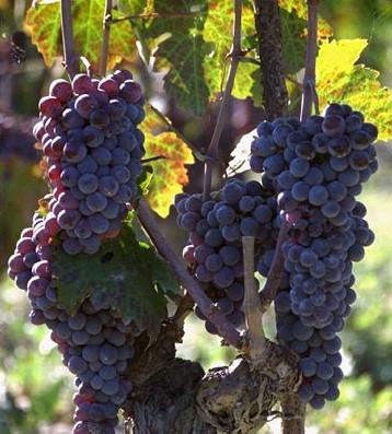 Pianta alberello Gaglioppo a settembre - Linardi Wines