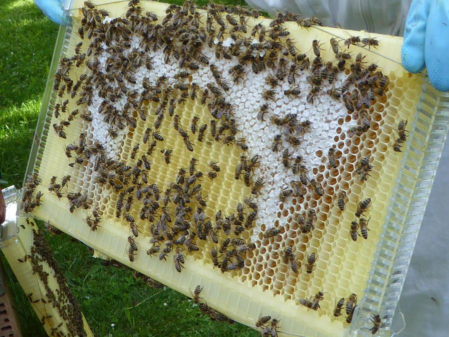 Vier Wochen nach Aufsetzen des Honigraums. Die Bienen bevorzugten die nach Wachs duftenden Naturwaben, diese waren komplett mit Honig gefüllt und verdeckelt.