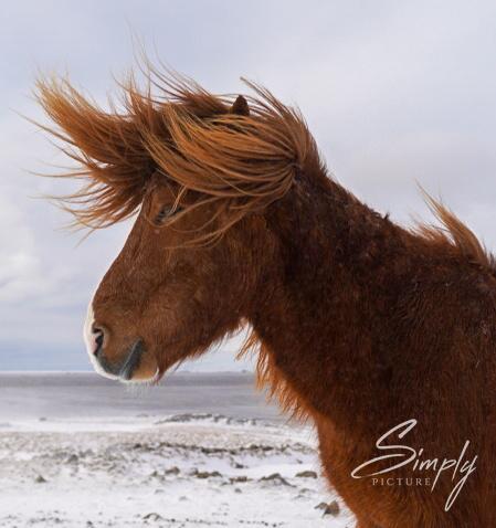 Rötlich-braunes Island-Pferd mit einer sehr verwähten Mähne