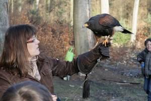 Der Harris Hawk ist ein amerikanischer Falke