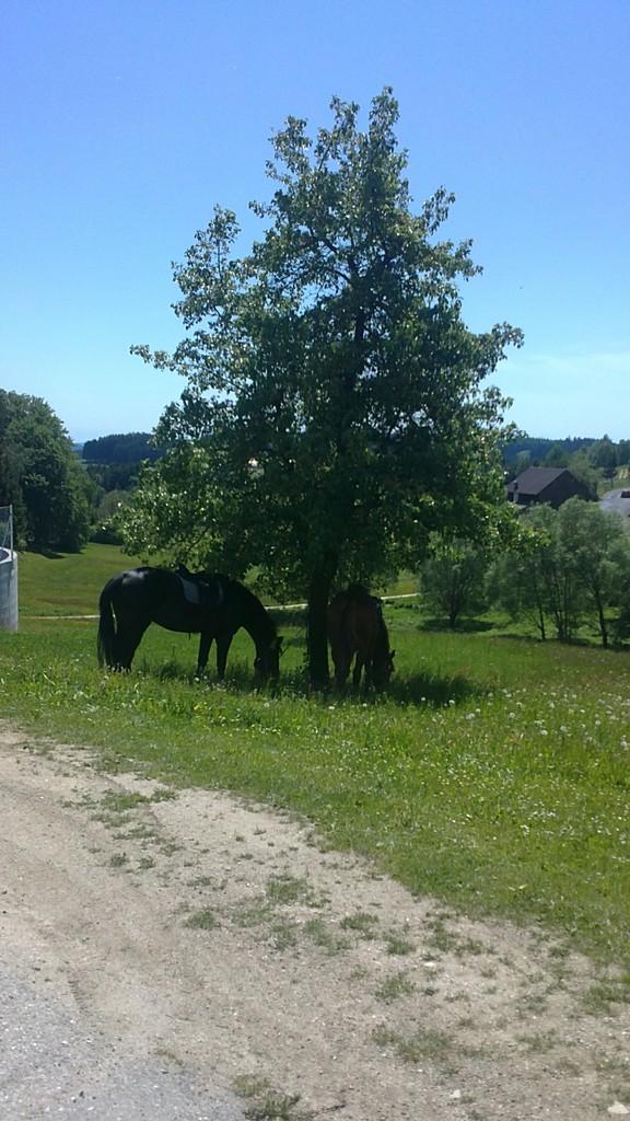 Die Pferde grasen im Schatten.