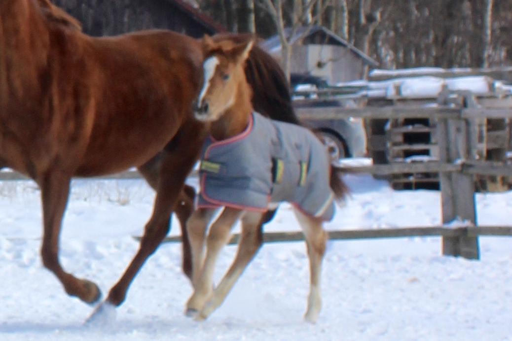 Ginger Bread Girl mit Horsewear Fohlen Decke