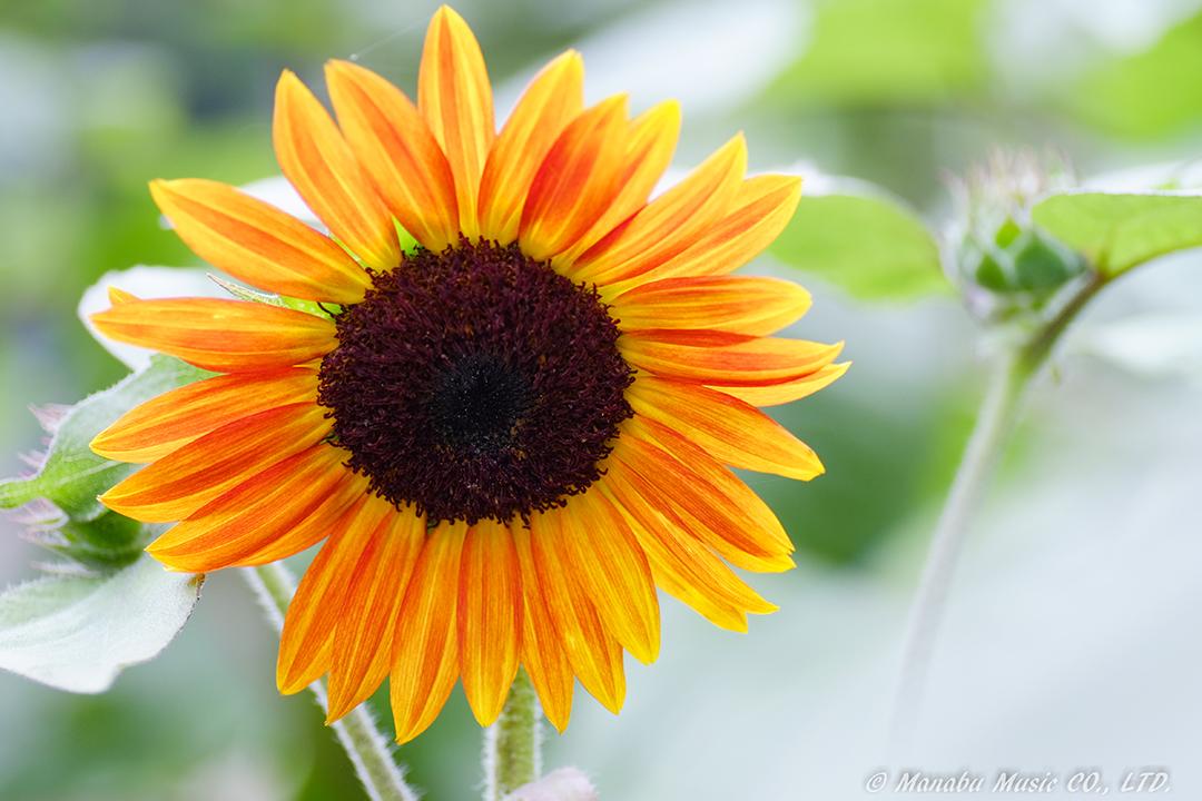 Sunflower X-E2 Tamron 90mm F2.8