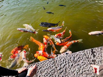 その弁天堂を囲む池にある「鯉の餌やり場」。童心に返りますよ!