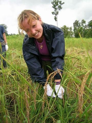 Aprendiendo las costumbres locales: Recolectando el arroz