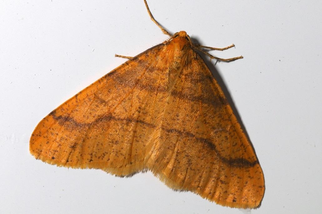 Farb- und Zeichnungsvarianten des Männchens vom Großen Frostspanner (Erannis defoliaria). Alle Fotos aus Stelle vom 01.11.2011 (c) Dietrich Westphal