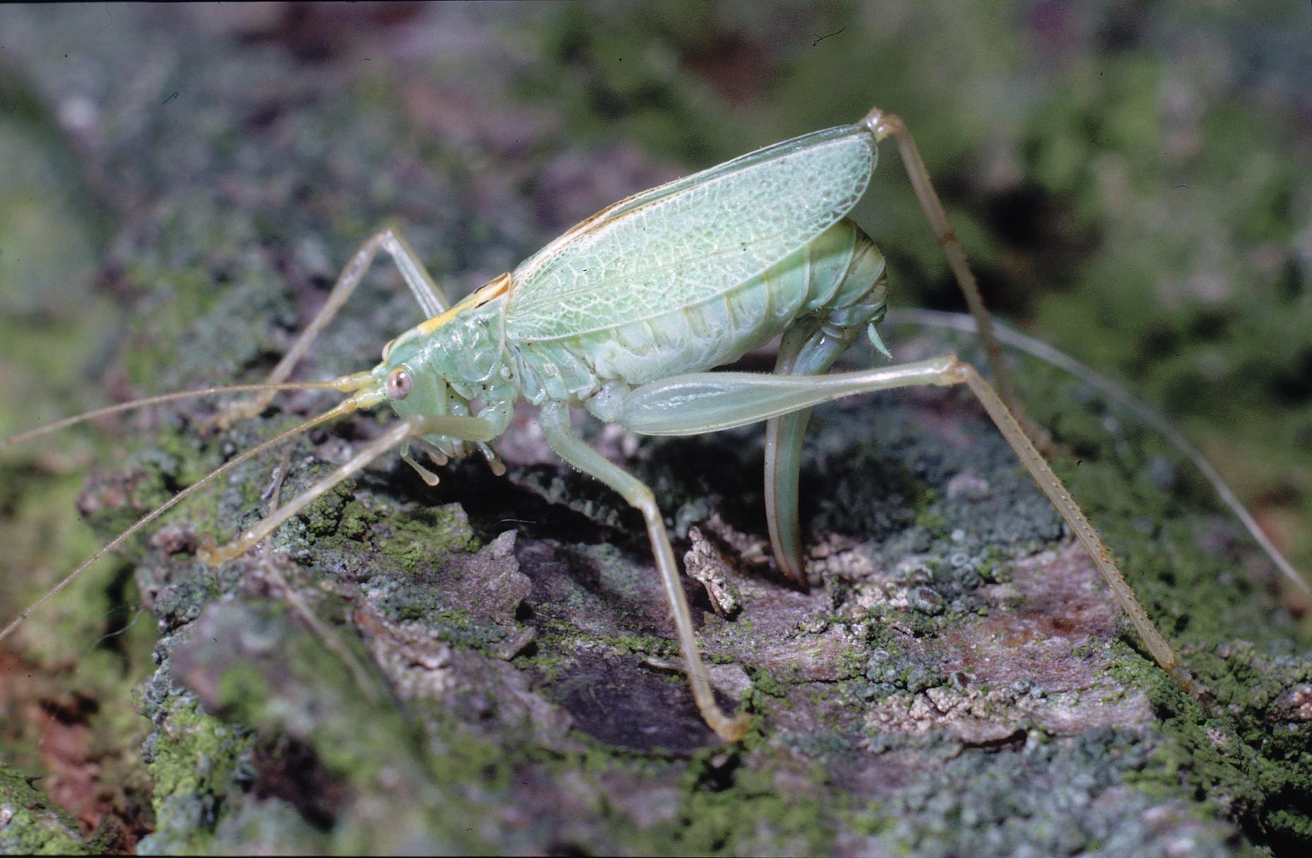 Gemeine Eichenschrecke, Weibchen, Oktober 1987, Winsen ©: D. Westphal