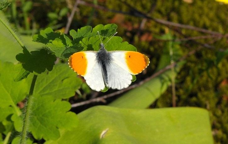 Aurorafalter, Männchen. Winsen, 1. Mai 2012