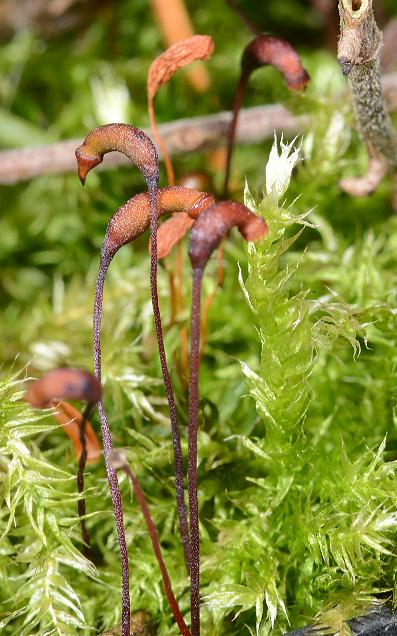 Geröll-Kurzbüchsenmoos, Blätter und Sporenkapseln. Winsen, 1.2.2016