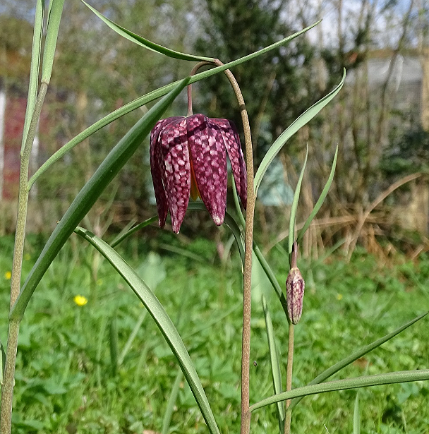 Die erste Blüte - diesmal am 2. April.