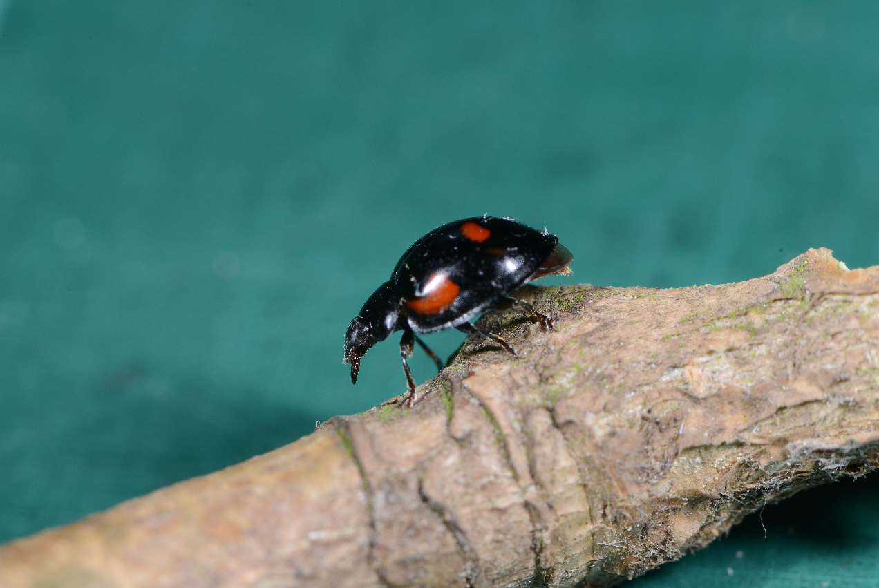Vierfleckiger Kugel-Marienkäfer (Exochomus quadripustulatus). 11. Februar 2019, Winsen