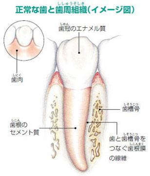 歯を支えている骨を再生(エムドゲイン法)