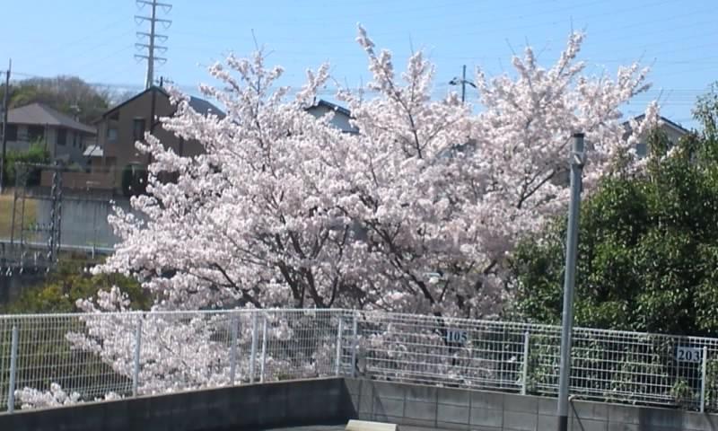 当院のテラスから見える桜