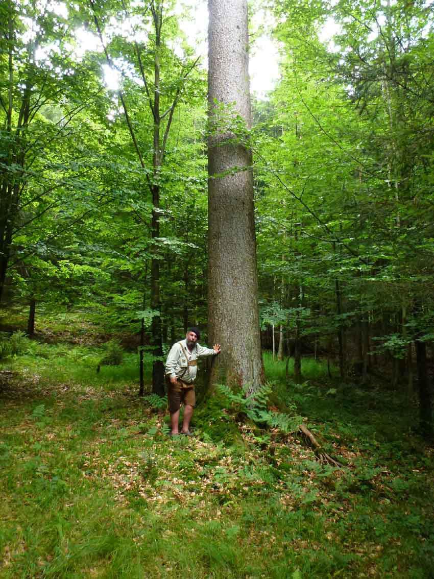 Jahrhunderte alte Baumriesen im Dexelbacher Wald des Bruckbacherhofes