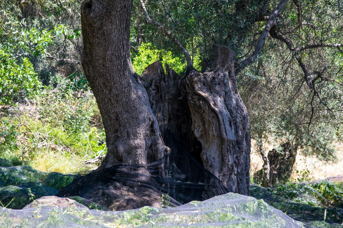 olivier centenaire