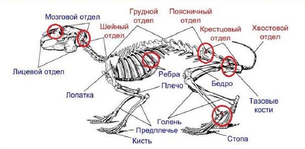 Скакательный сустав кролика в разрезе особенности повреждения локтевых суставов у детей