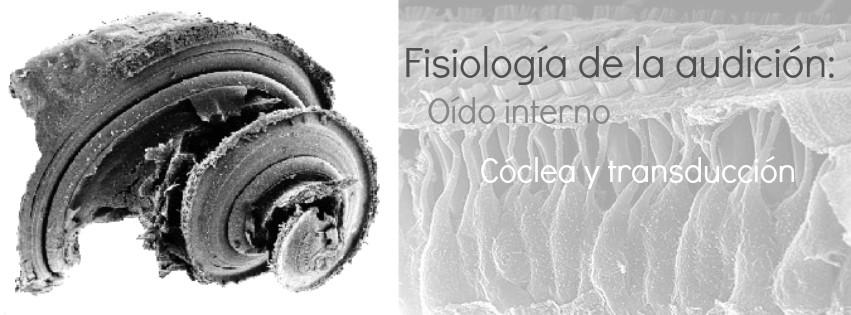 Fisiología de la audición: Oído interno (cóclea y transducción)
