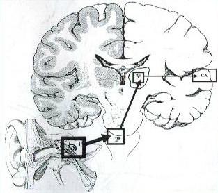Las tres estaciones de la vía auditiva y la CA o corteza auditiva.