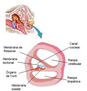 La cóclea. El órgano de corti.