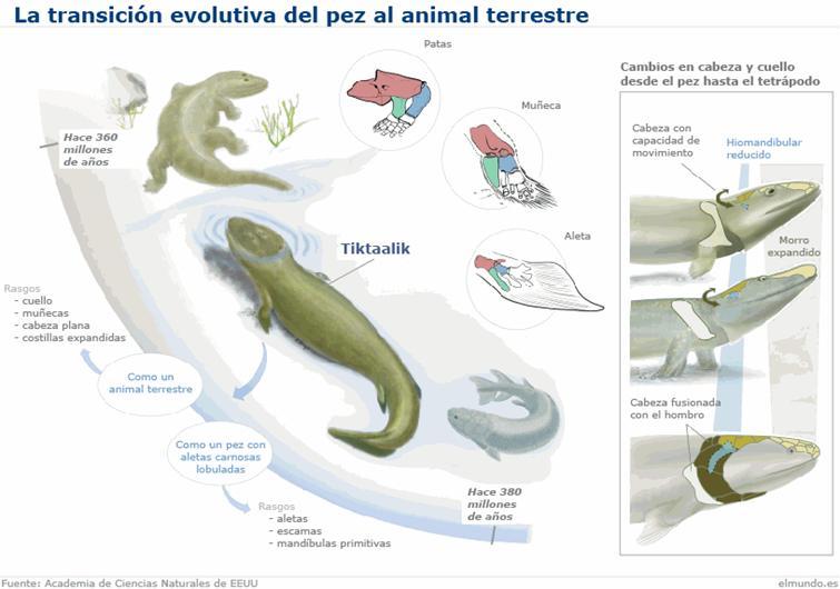Transición evolutiva del pez al animal terrestre.