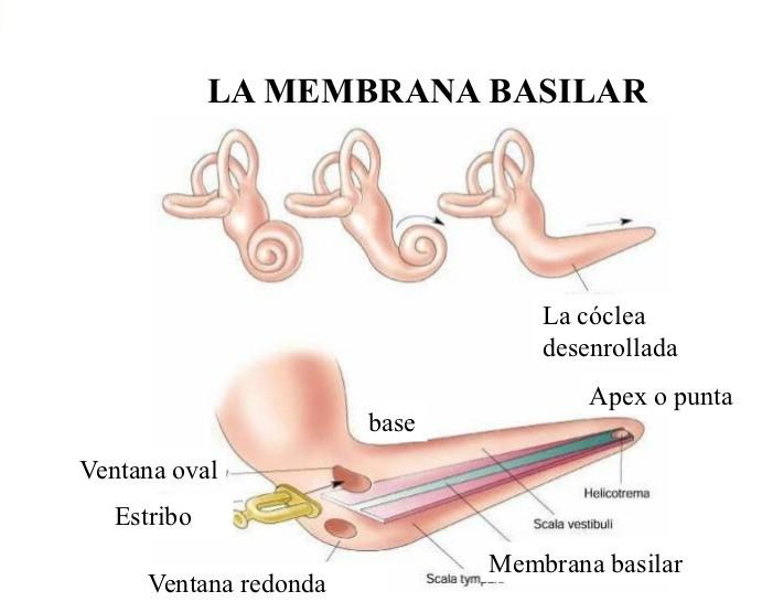 Fisiología de la audición: oído interno. - Centro Auditivo Cuenca ...