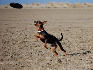 Mika beim Dogfrisbee