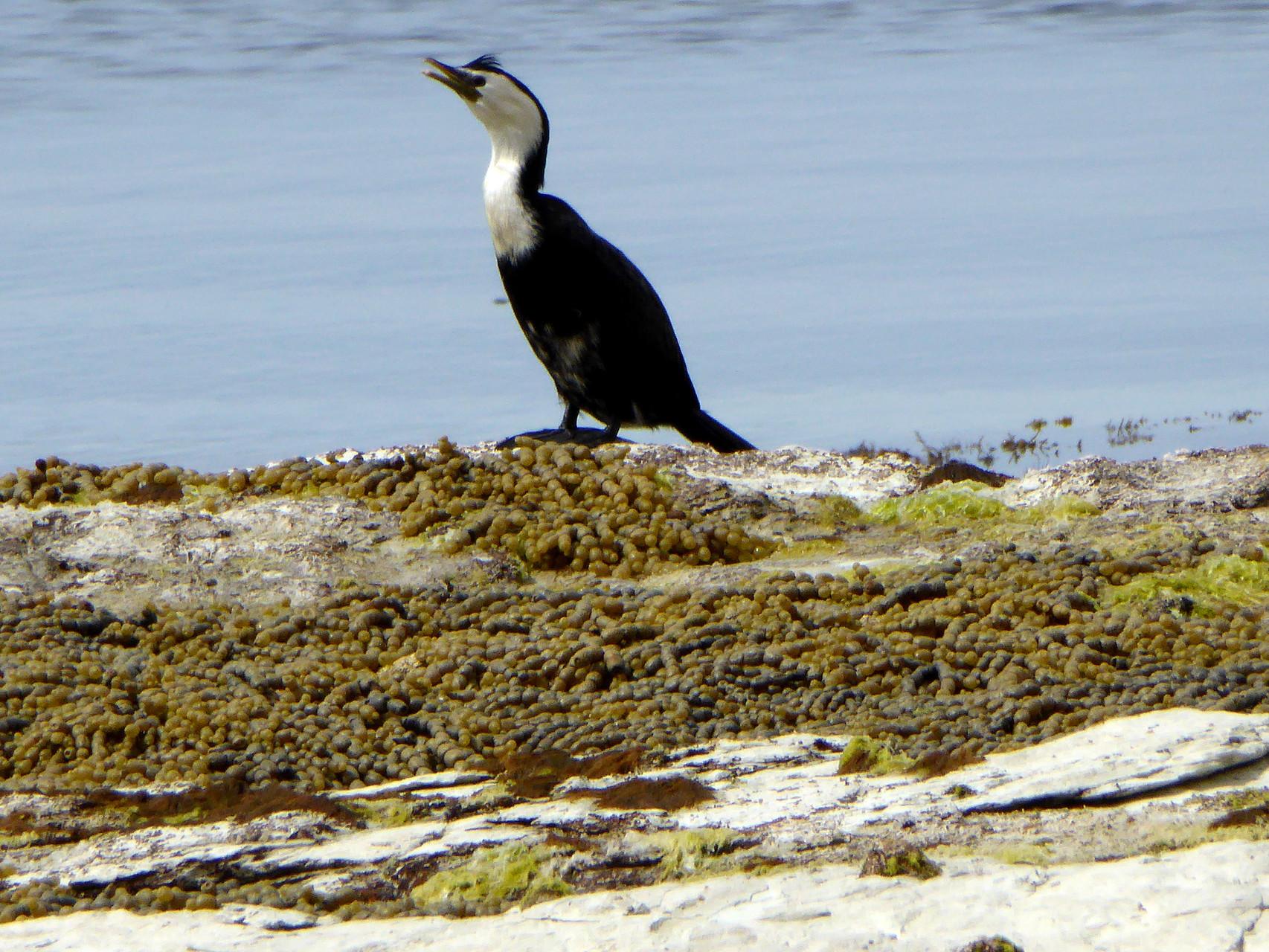 Little pied, black belly cormorant