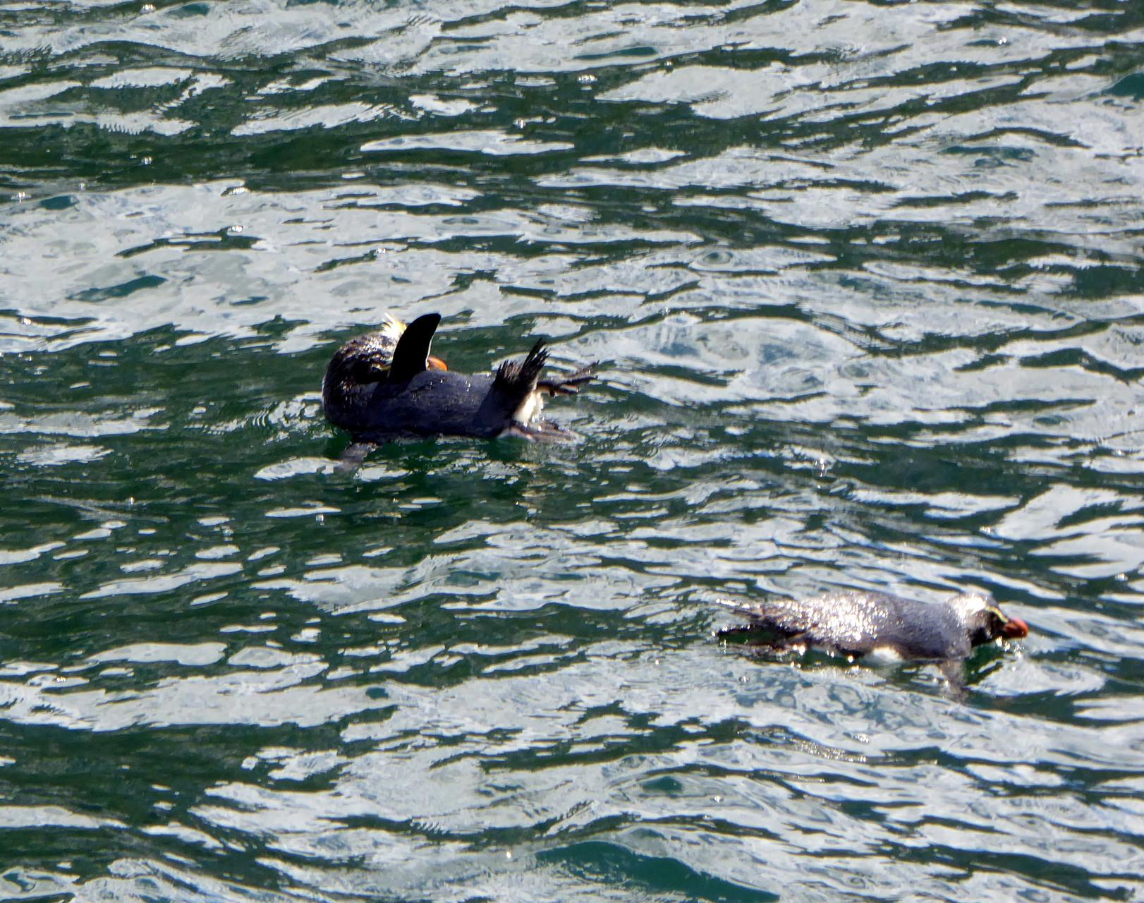 Pinguine im Milfordsound