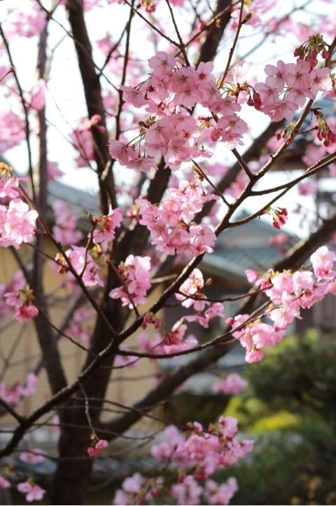 春 桜 舞鶴