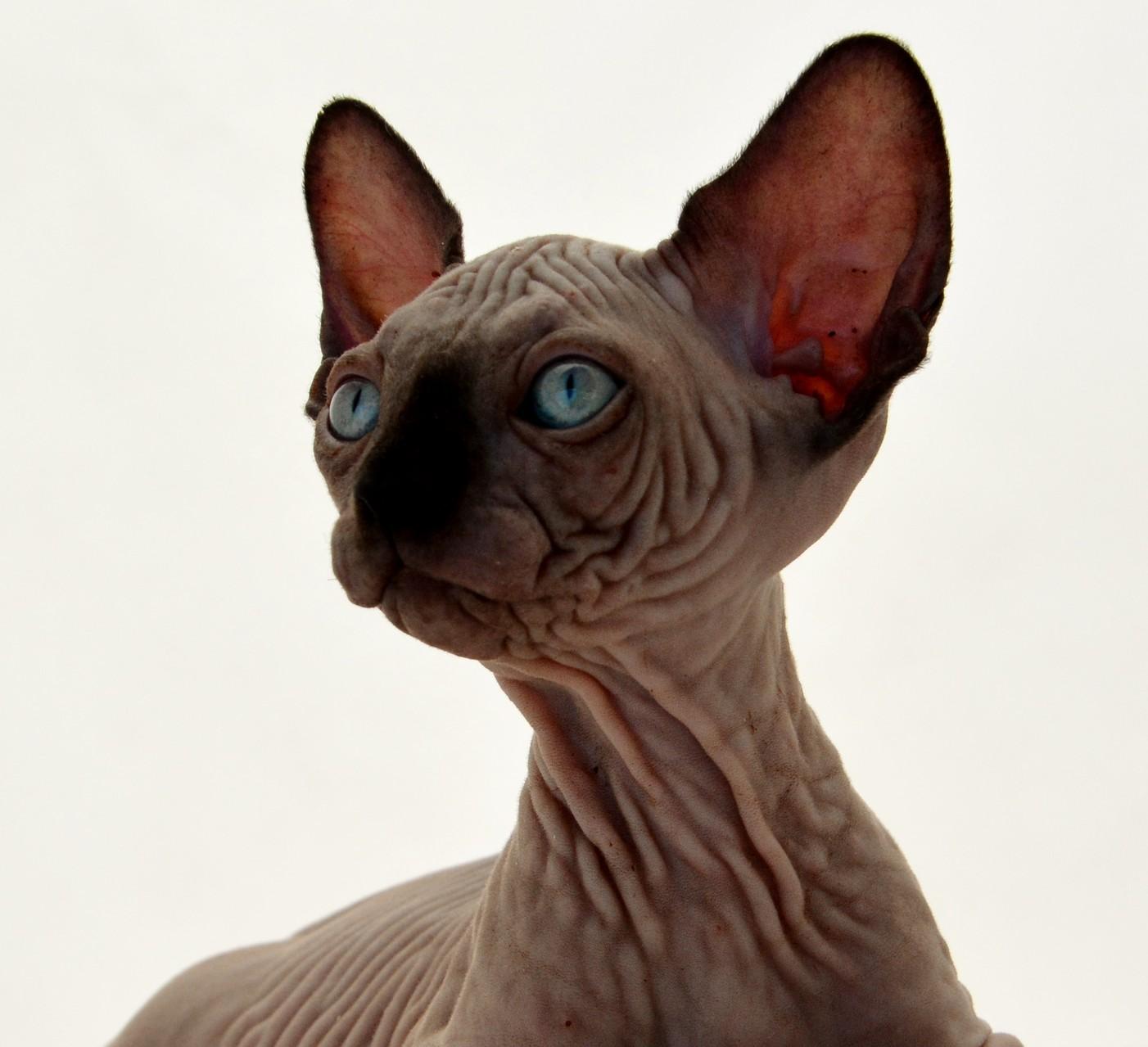 распространение сфинкс черный кошка картинки модели макияжем можно