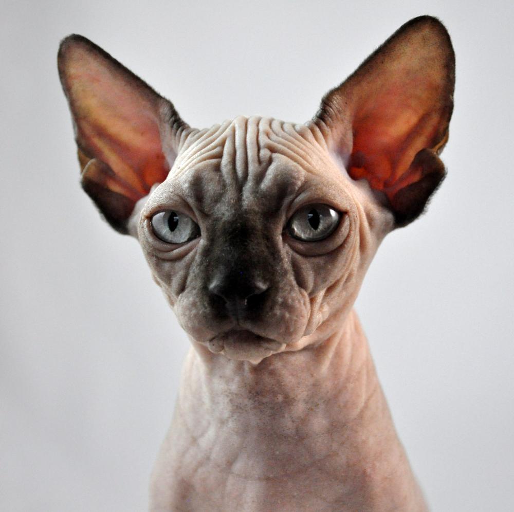 Sphynx kitten for sale in NY