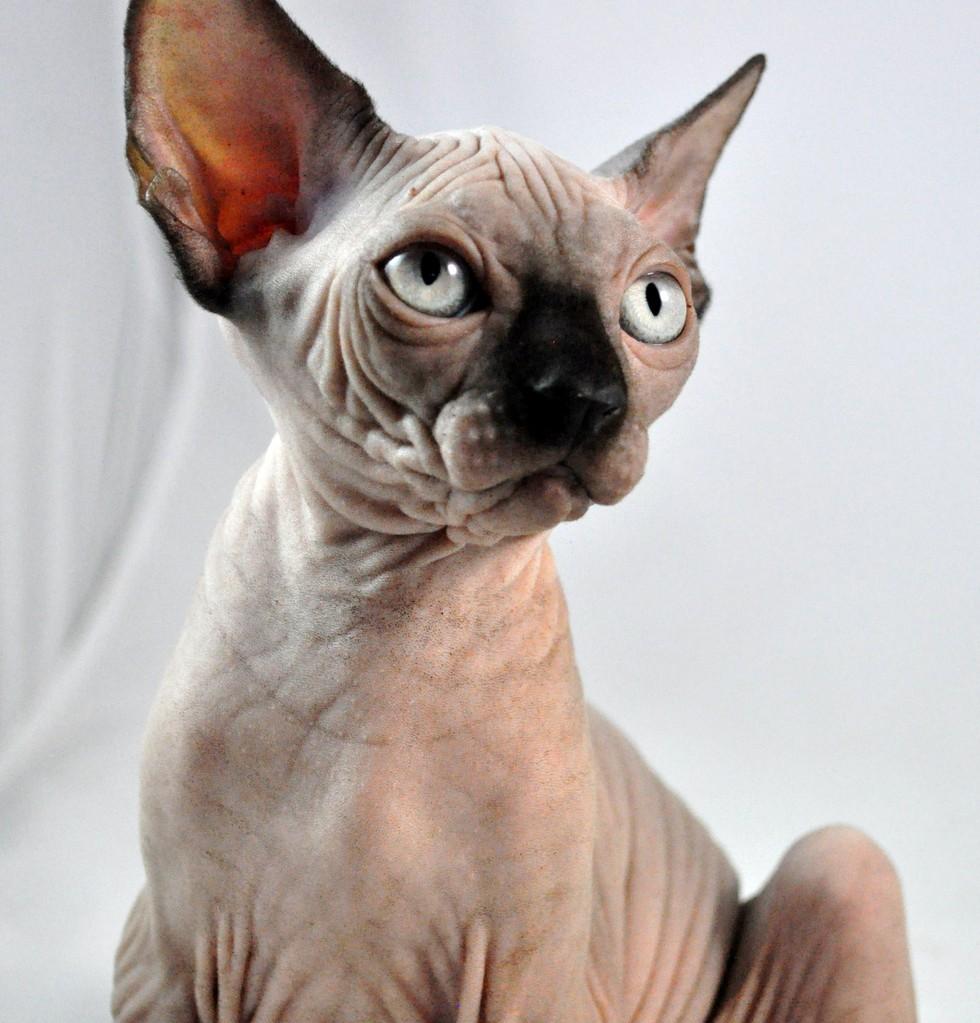 Indigo Sphynx Kittens