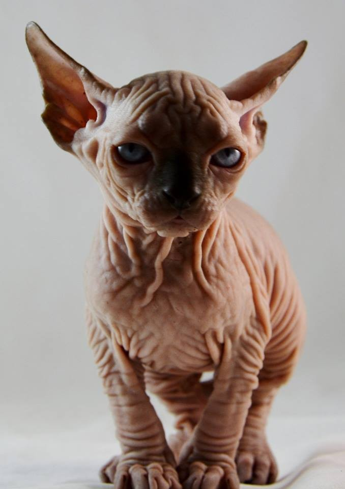 Sphynx Cat For Adoption In Pa