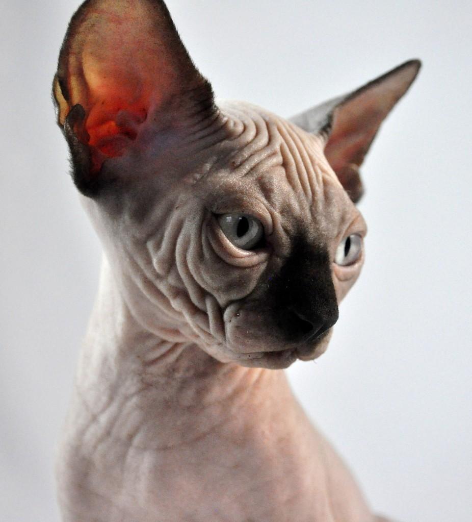 Indigo Sphynx Cat