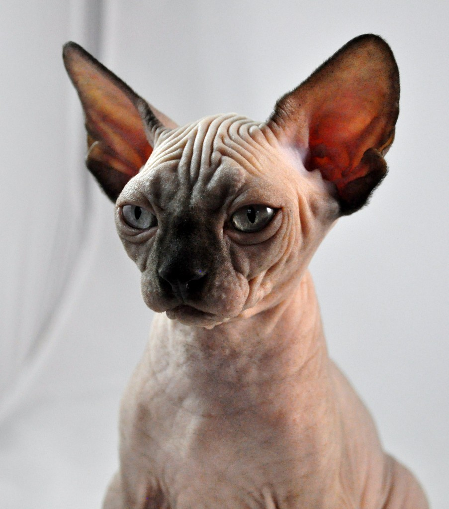Chocolate Mink Sphynx