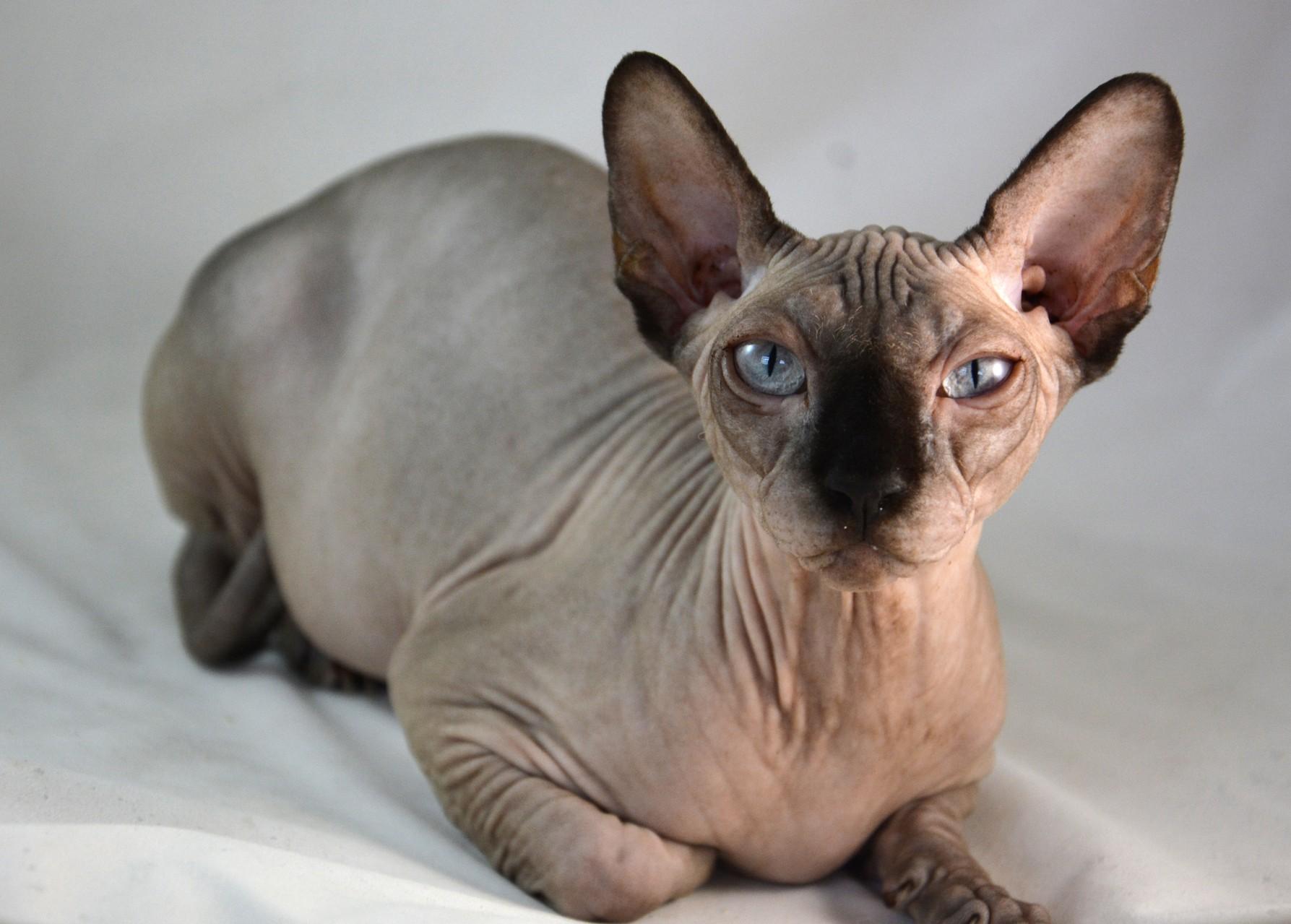 "Chocolate Mink Female ""Indigo Quincey"" DOB 03 20 2014 Adopted"