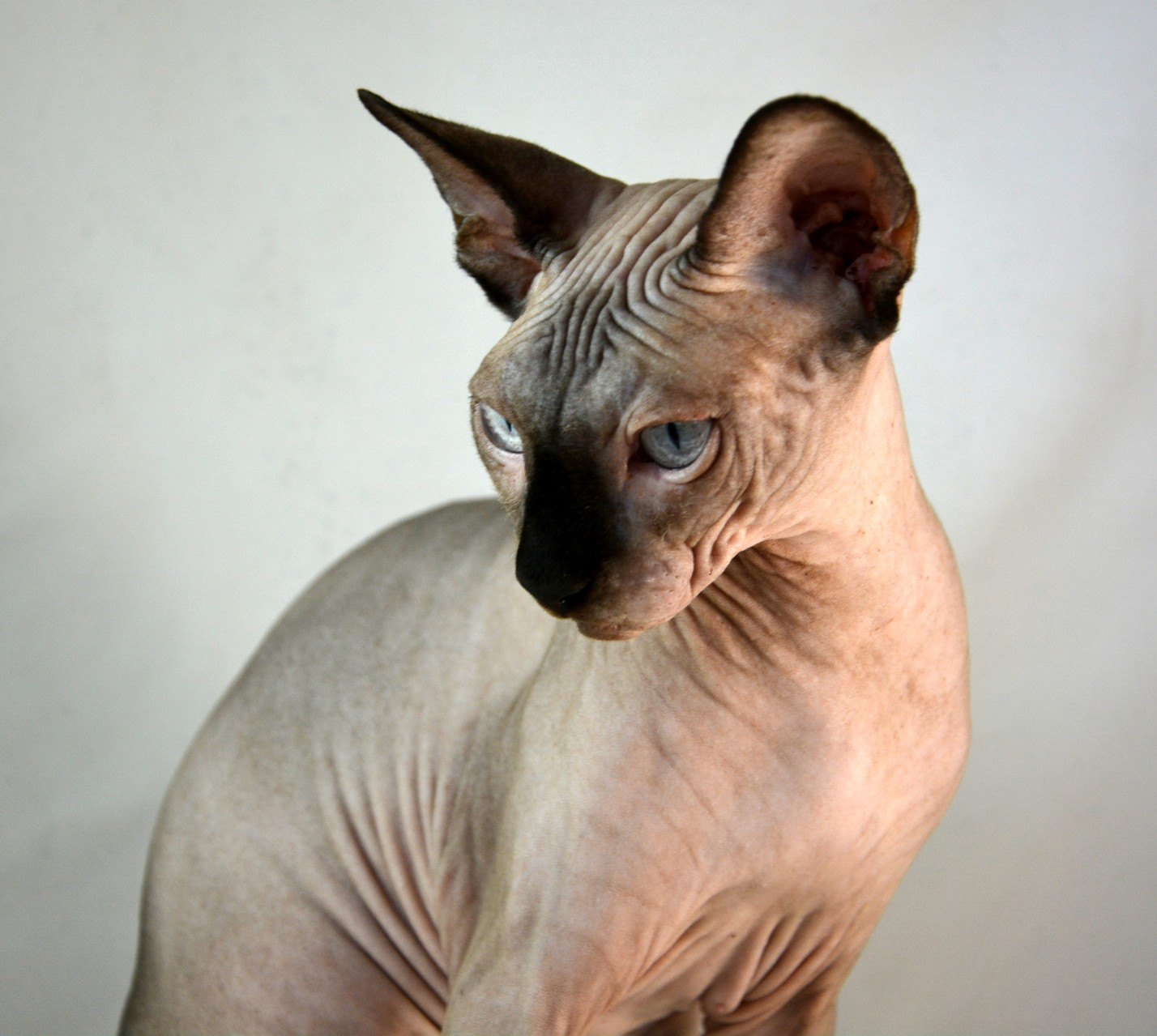 We Are Some Adults Available Indigo Sphynx Kittens