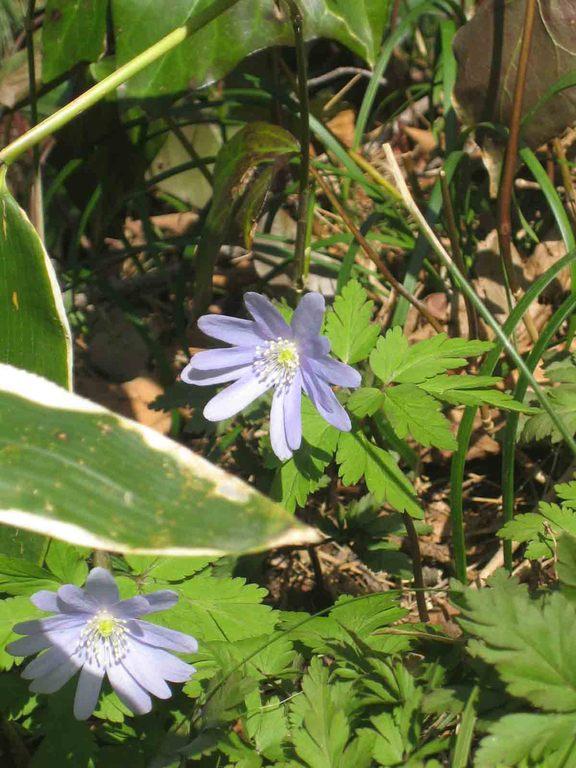 ちょこっと顔出す青い野草はキクザキイチゲ