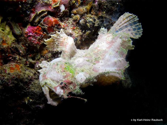 Tauchsport und Unterwasserfotografie - Weißer Frogfisch