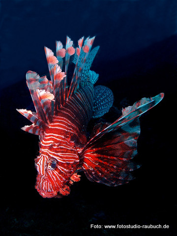 Tauchsport und Unterwasserfotografie - Feuerfisch