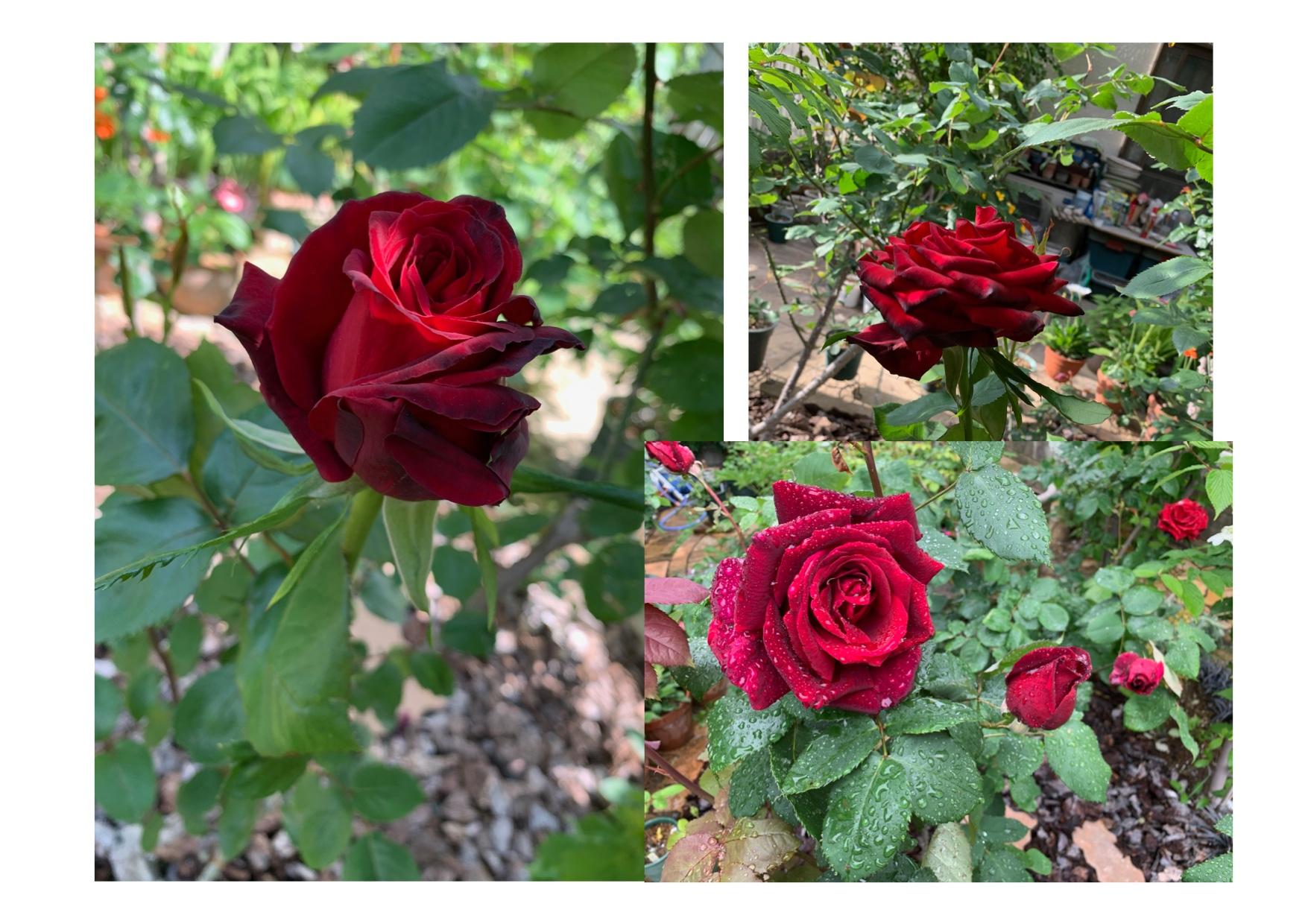 バ〜ラが咲いた♪ /  Rose bloomed!