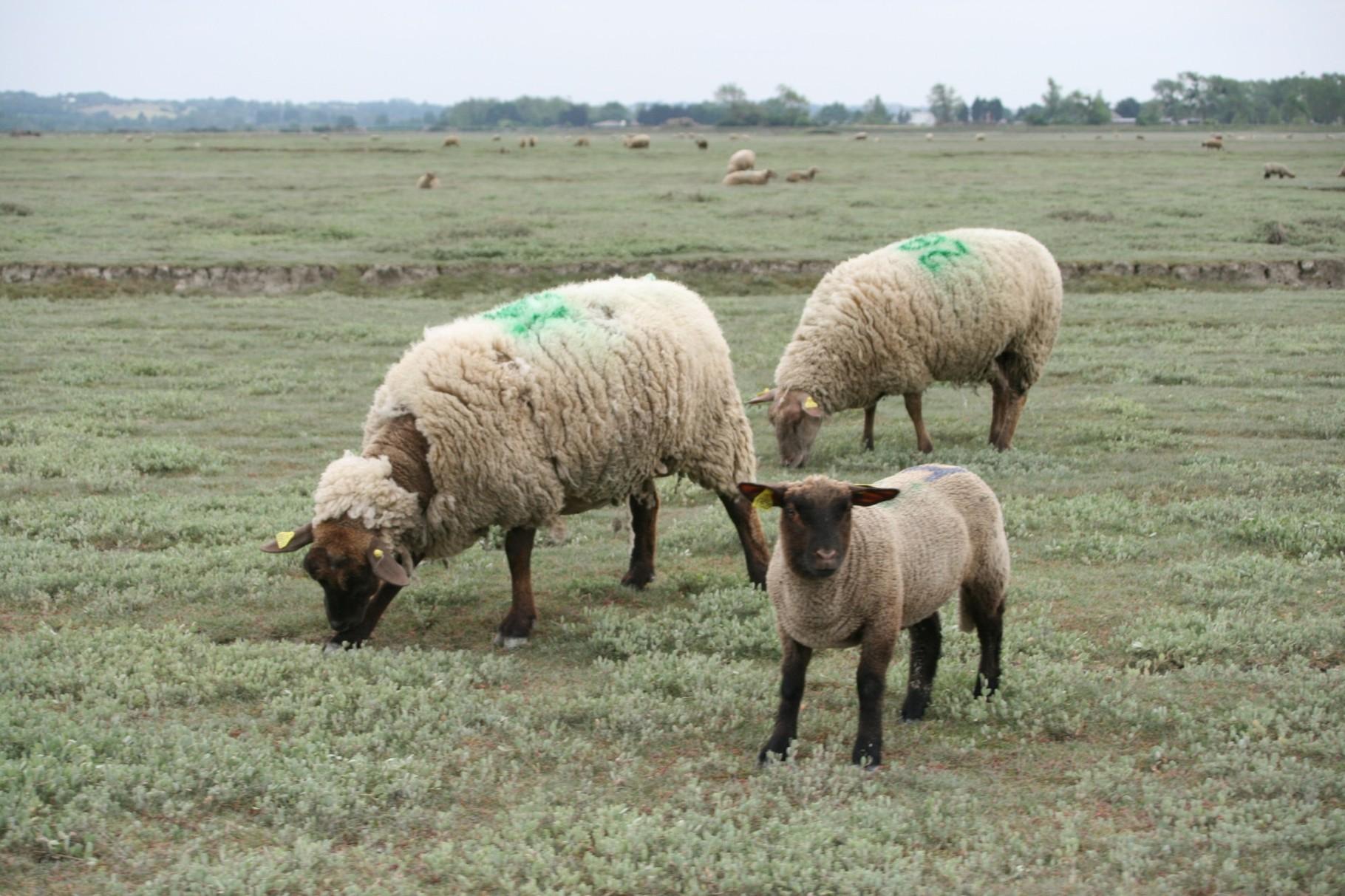 moutons près salés
