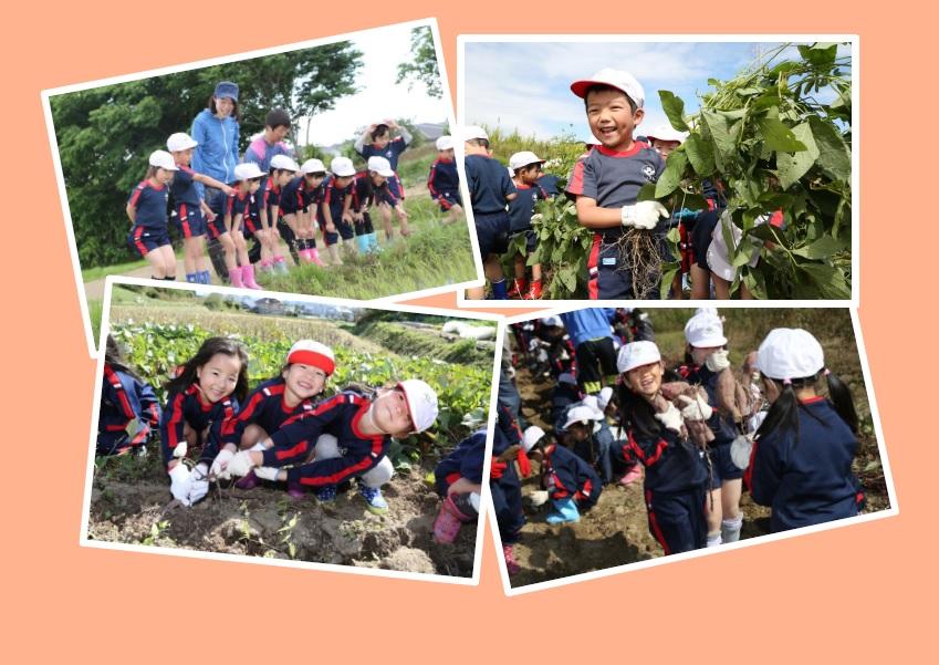 <年長さつまいも、年中枝豆> 自然に触れ、収穫の喜び、食べ物への感謝を・・・
