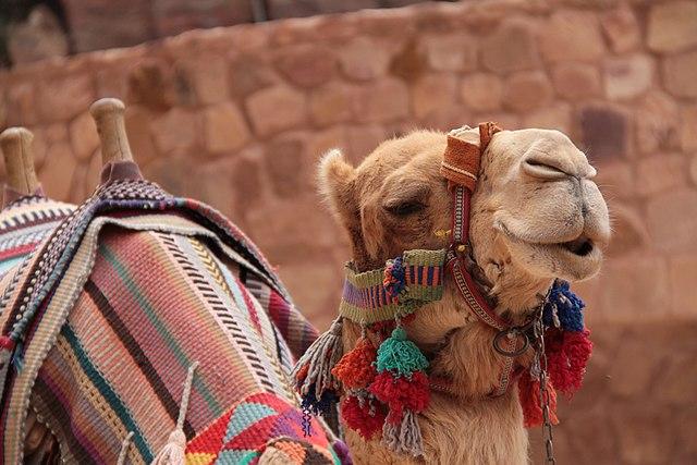 Boris Debic, Camel in Petra Jordan, Creative Commons