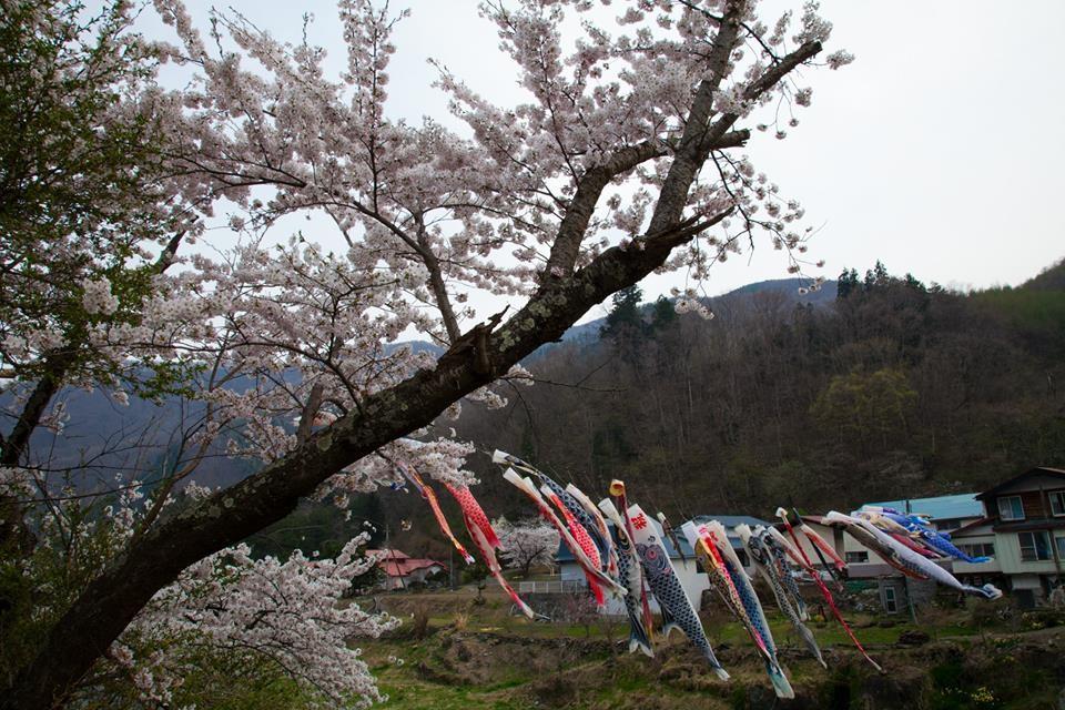 大槌町にて。桜と鯉のぼり