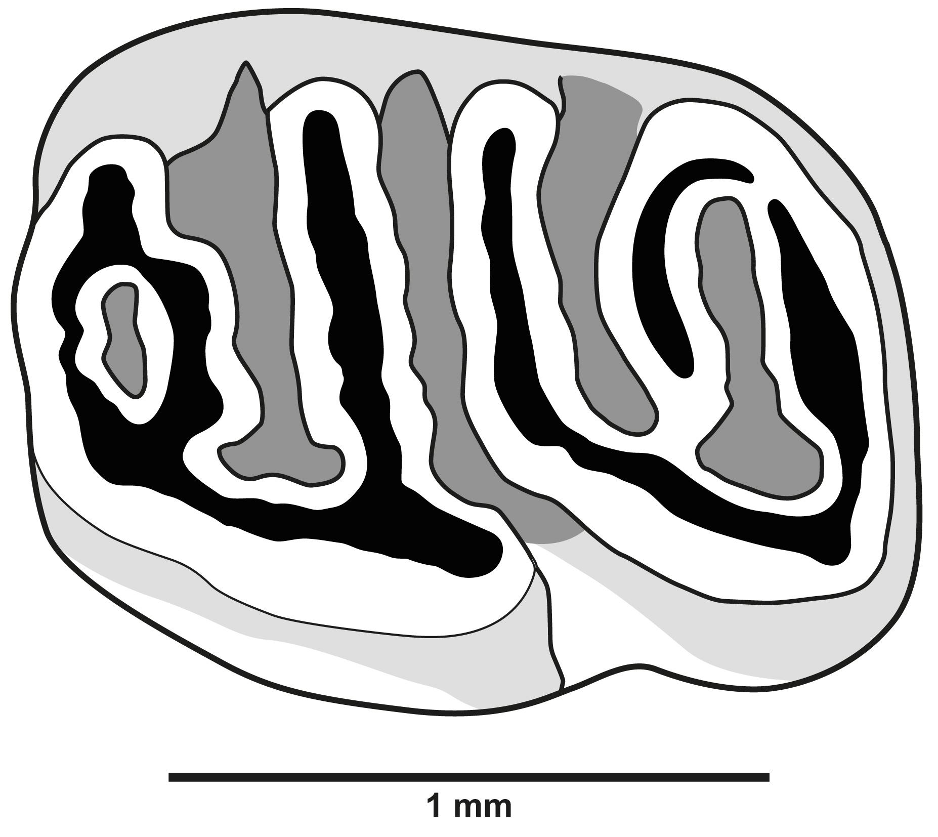 Abbildung 2. Linker oberer zweiter Molar (sin. M2) von Neocometes aus Baiershofen.