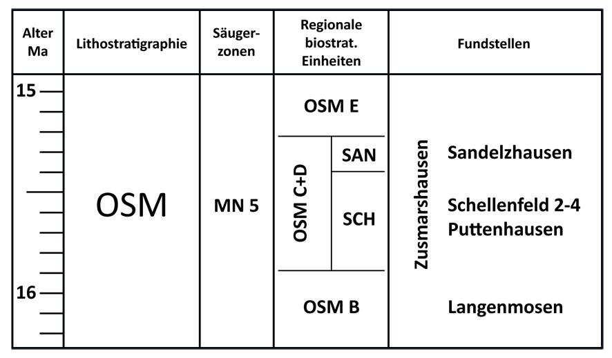 Abb. 6: Stratigraphische Übersicht – Einstufung der Fundstelle Zusmarshausen.