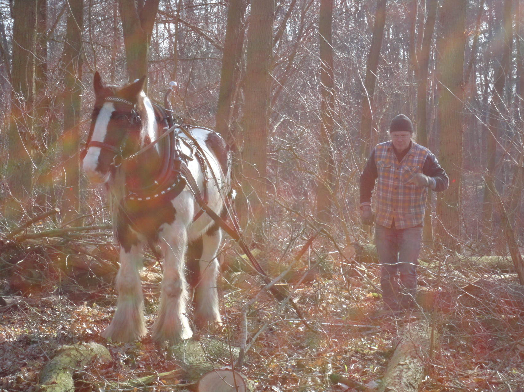 mit Pferden beim Holzrücken