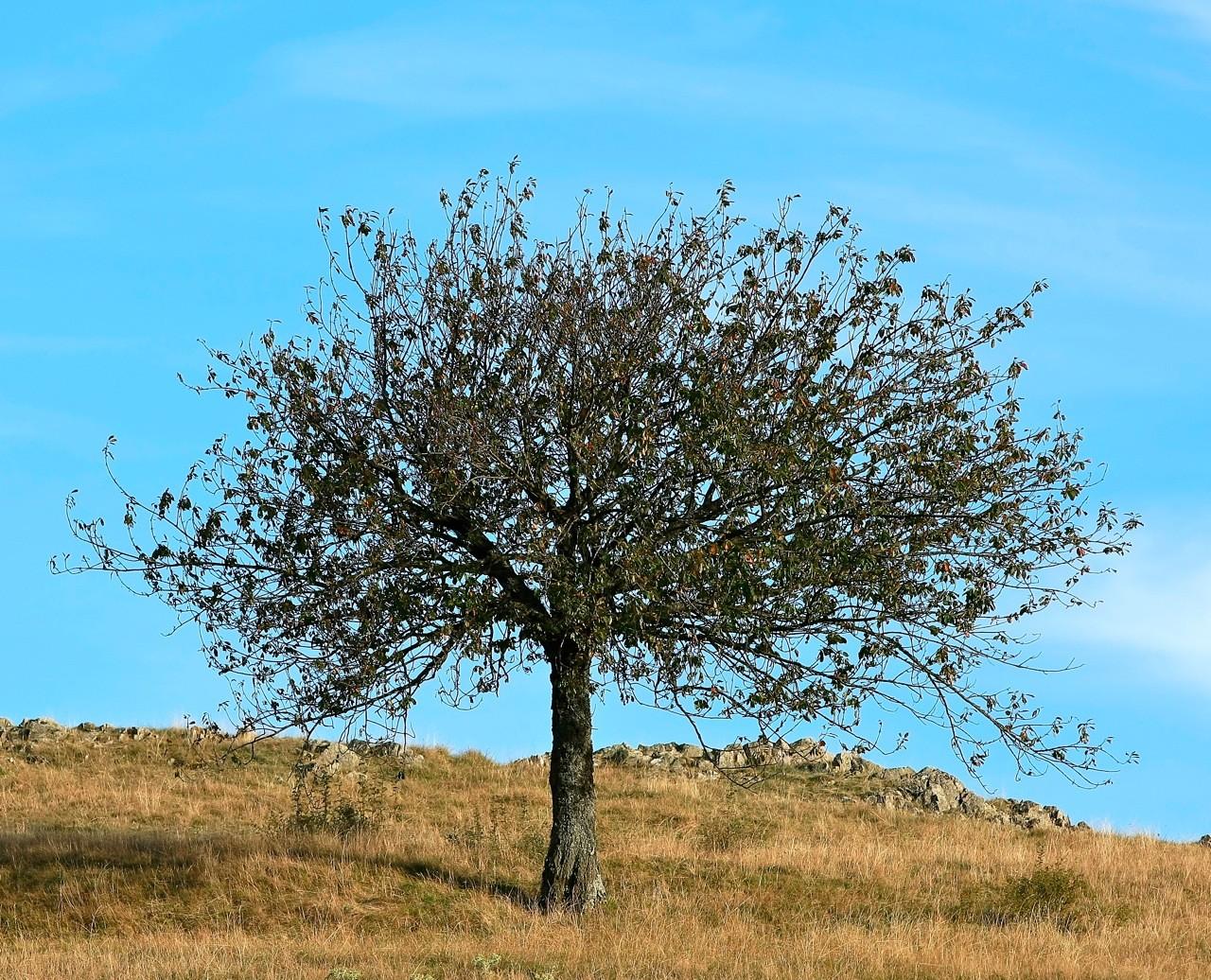 Le Merisier sur la colline