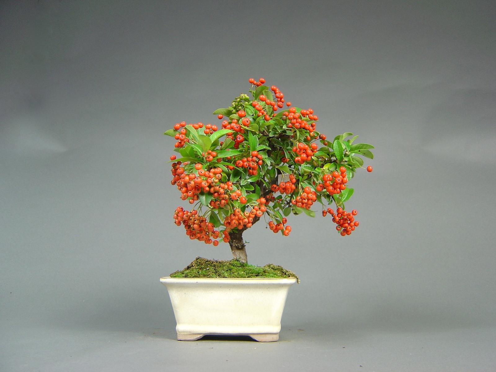 Feuerdorn, Pyracantha coccinea